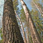 urgamla aspar i naturskog